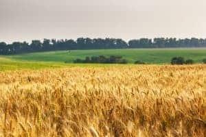 Anbau von Weizen